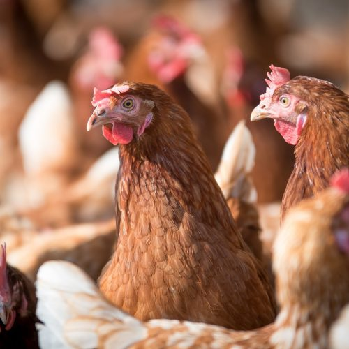 poultry Dietetic feed supplements